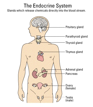 Images Of The Glands In The Body Cushings Help And Support